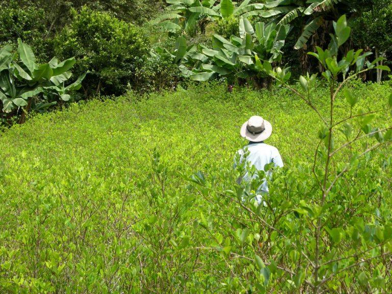 Coca crops in bolivia